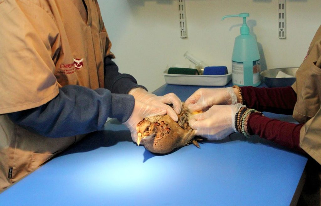 Photo d'une faisane en soins