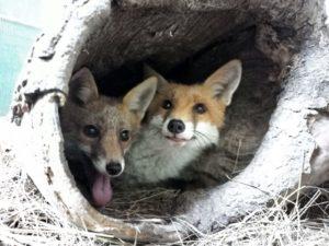 Photo de deux renards
